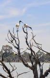 澳大利亚白色朱鹭:到达的弯曲的额嘴 库存照片