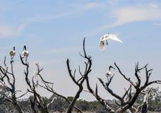 澳大利亚白色朱鹭:留下群 免版税库存照片