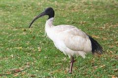 澳大利亚白色朱鹭 免版税库存图片