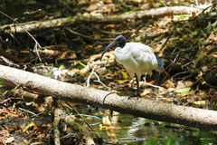澳大利亚白色朱鹭 库存照片