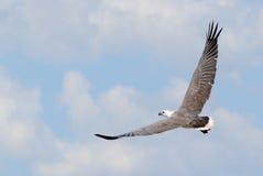 澳大利亚白色鼓起了在充分的飞行的海鹰 免版税图库摄影