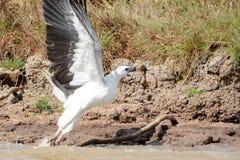 澳大利亚白色鼓起的海鹰 库存图片