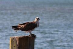 澳大利亚白鹭的羽毛鹗 免版税库存照片