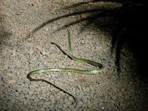 澳大利亚的一条美丽的翠青蛇 免版税库存图片