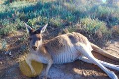 澳大利亚的颜色 袋鼠颜色 免版税库存照片