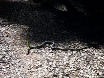 澳大利亚的绿色树蛇 库存照片