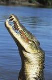 澳大利亚盐水鳄鱼在河 库存图片