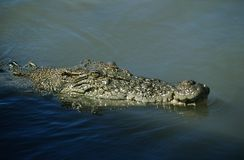 澳大利亚盐水鳄鱼在水中 库存照片