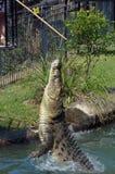 澳大利亚盐水鳄鱼 免版税库存照片