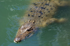 澳大利亚盐水鳄鱼 库存照片