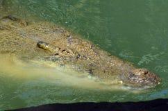 澳大利亚盐水鳄鱼 库存图片