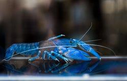 澳大利亚红色爪小龙虾 库存图片