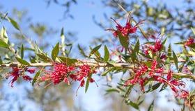 澳大利亚红色Grevillea辉煌花 免版税图库摄影