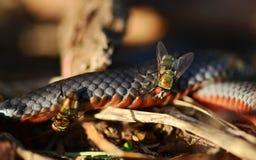 澳大利亚红鼓起的黑色蛇&丽蝇 库存图片