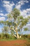 澳大利亚结构树 免版税库存照片
