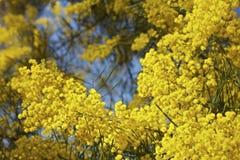 澳大利亚绽放含羞草结构树篱笆条 免版税库存照片