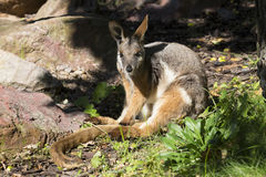 澳大利亚罕见的黄色有脚的摇滚鼠,岩石大风xanthopus xanthopus 免版税库存照片