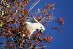 澳大利亚美冠鹦鹉吃 免版税库存图片