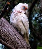 澳大利亚美冠鹦鹉 库存图片