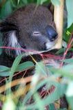 澳大利亚考拉 免版税库存图片