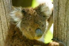 澳大利亚考拉 库存图片