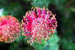 澳大利亚花flowerhead哈克木属植物当地人 库存图片