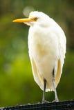 澳大利亚苍鹭白色 图库摄影