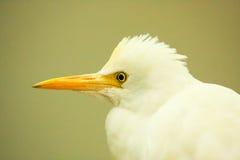 澳大利亚苍鹭白色 免版税库存照片