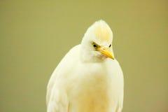 澳大利亚苍鹭白色 库存图片