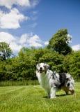 澳大利亚蓝色三颜色笑的merle的牧羊人 库存图片