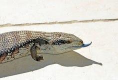 澳大利亚蓝色蜥蜴舌头 免版税库存图片