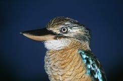 澳大利亚蓝色飞过的Kookaburra特写镜头 库存图片