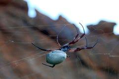 澳大利亚蜘蛛 图库摄影