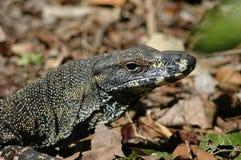 澳大利亚蜥蜴 库存照片