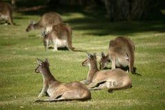 澳大利亚袋鼠 图库摄影