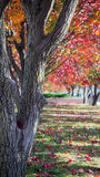 澳大利亚装饰洋梨树 免版税库存照片