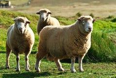 澳大利亚逗人喜爱的绵羊 库存图片