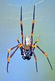 澳大利亚金黄天体织布工蜘蛛 库存图片