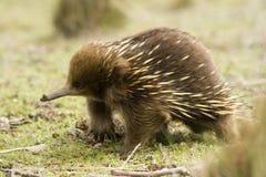 澳大利亚针鼹 免版税库存图片