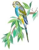 澳大利亚长尾小鹦鹉 免版税库存照片