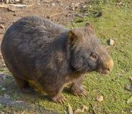 澳大利亚长毛的被引导的wombat 库存照片