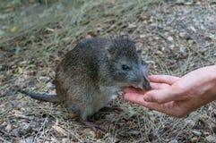 澳大利亚长鼻袋鼠手哺养 图库摄影