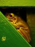 澳大利亚青蛙结构树 免版税库存图片