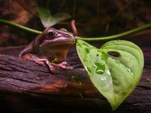 澳大利亚青蛙结构树 免版税库存照片