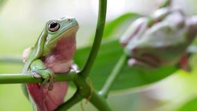 澳大利亚青蛙绿色结构树 股票录像