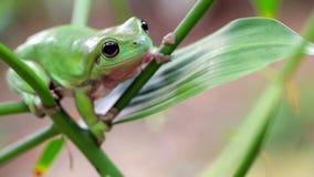 澳大利亚青蛙绿色结构树 影视素材