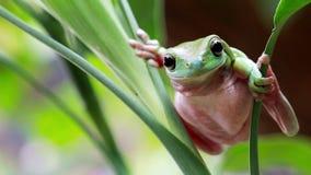 澳大利亚青蛙绿色结构树 股票视频