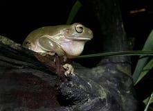 澳大利亚青蛙绿色结构树 图库摄影