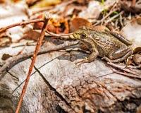 澳大利亚青蛙 免版税库存图片