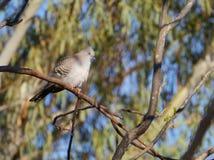 澳大利亚顶面山谷鸽子 库存照片